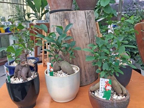 上の画像、「盆栽風観葉植物」