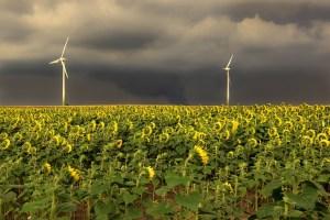 sunflower, field, sunflower field