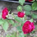 バラが咲き始める、一年で一番至福の時