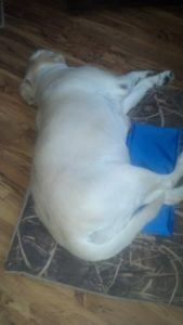 Keeping your pets cool this summer with a Aspen pet cooling mat. #Pets #Dog