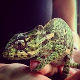 Derek the Chameleon
