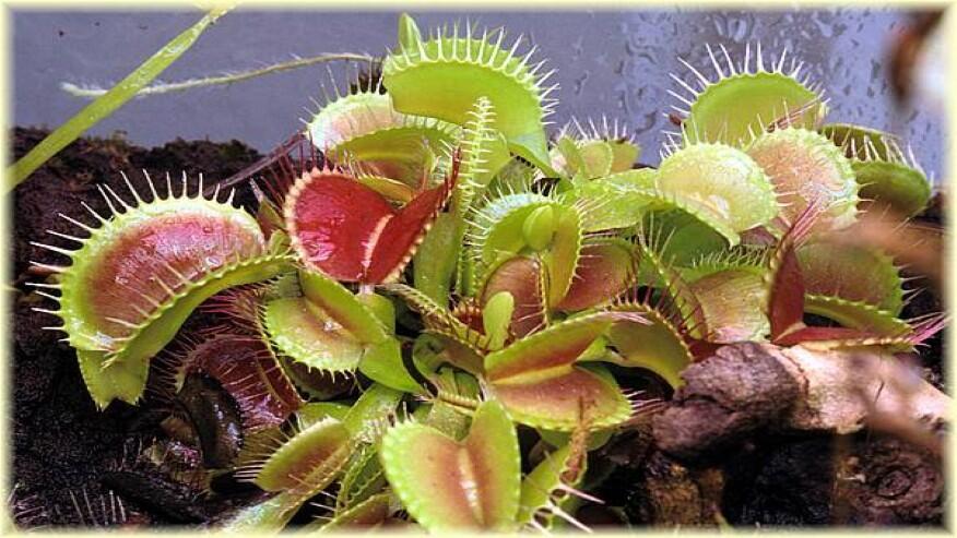Las plantas que comen insectos - Plantas para ahuyentar insectos ...