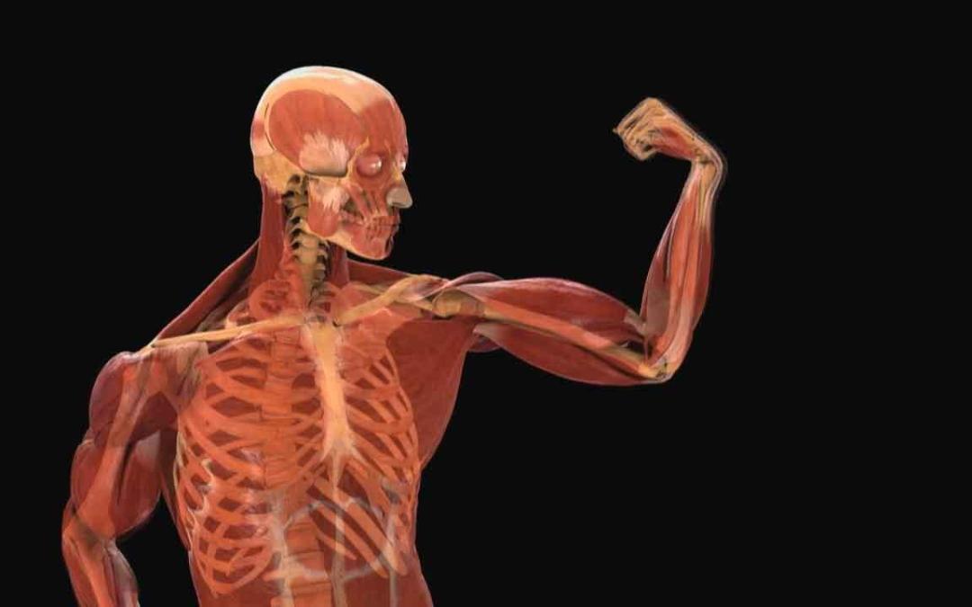 En el cuerpo humano hay un total de ...