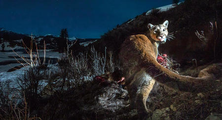Cougars in Los Angeles hunt close to people