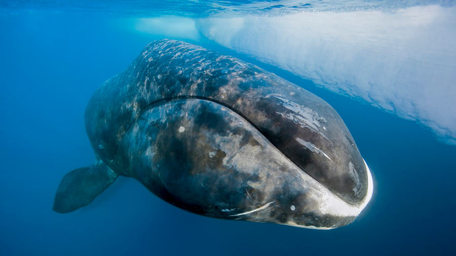 Greenland whales fall into fishing nets by a genetic mutation in their eyes