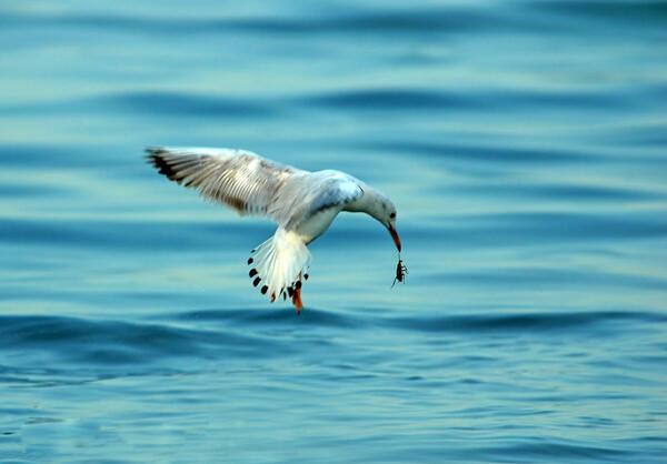 2017 عام النورس… المؤشر الحقيقي لسلامة البحر ونظافته