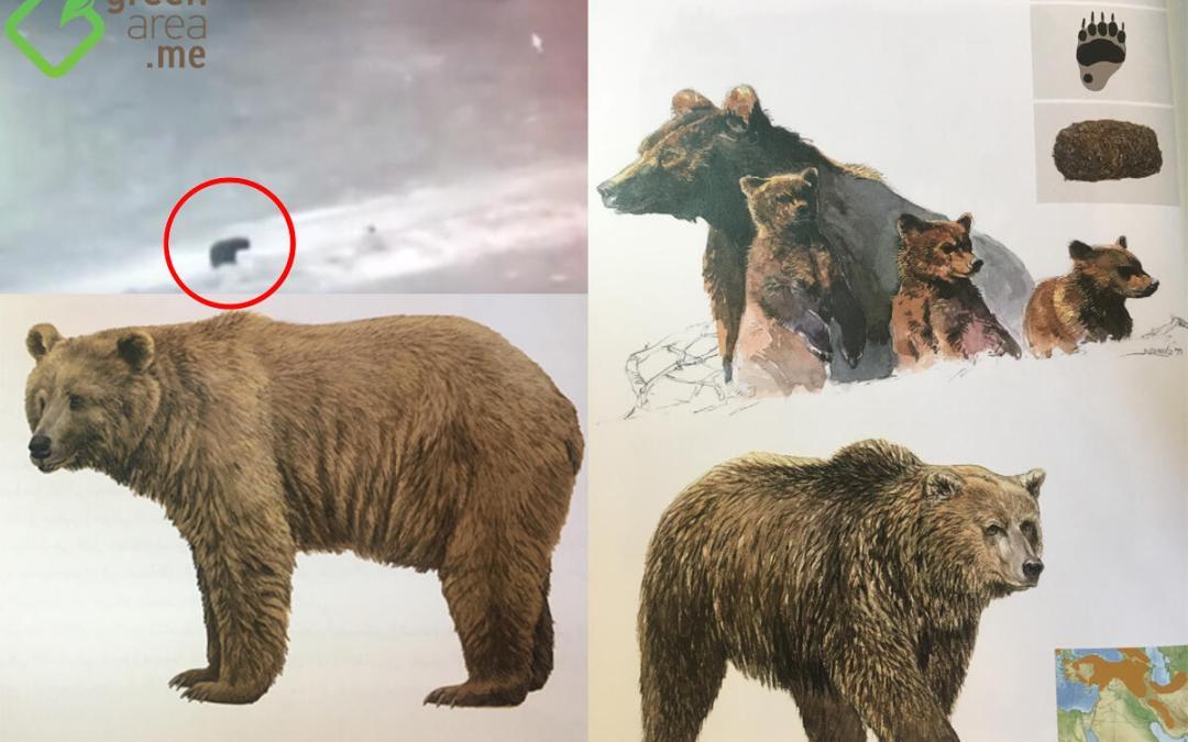 لأول مرة منذ نحو ٦٠ عاماً … الدب السوري يظهر في لبنان