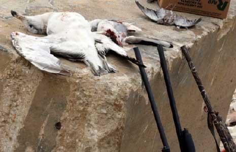 الدولة تستأجر «مرتزقة» لقتل النورس