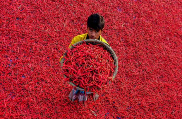 الفلفل الحار يفترش حقول بنغلادش باللون الأحمر