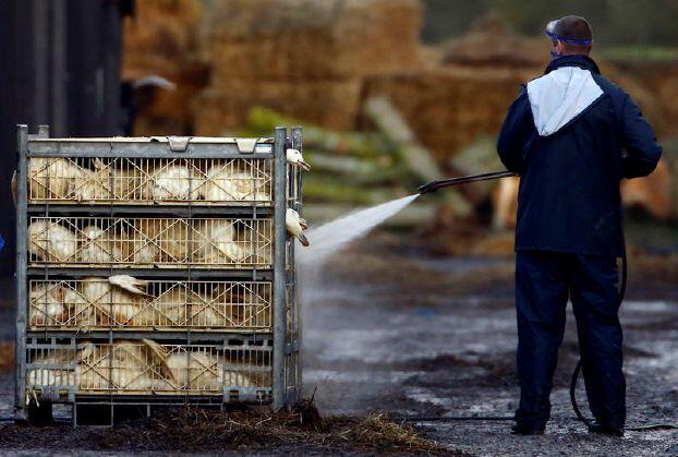 كوريا الجنوبية تؤكد تفشي إنفلونزا الطيور في مزرعة للبط