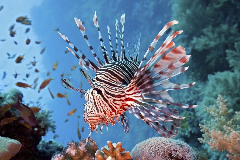 سمكة LIONFISH (الفراشة) تغزو إيطاليا… دراسة تلحظ انتشارها وأخطارها