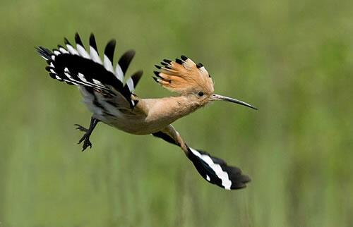 الدكتور قاسم جابر يوثق طائر هدهد في الطبيعة