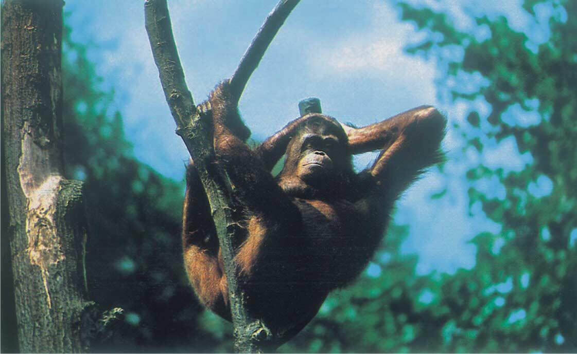 السعلاة (أحد أنواع القردة) يحب فاكهة المانجو أكثر من الموز