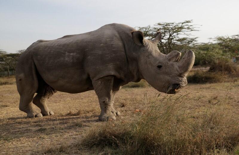 تبرّع ببويضات وحيد القرن سعيا لإنقاذه بالتلقيح الصناعي