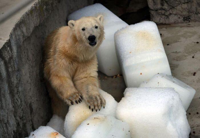 La angustiante imagen de un oso polar resistiendo el calor extremo en un zoológico