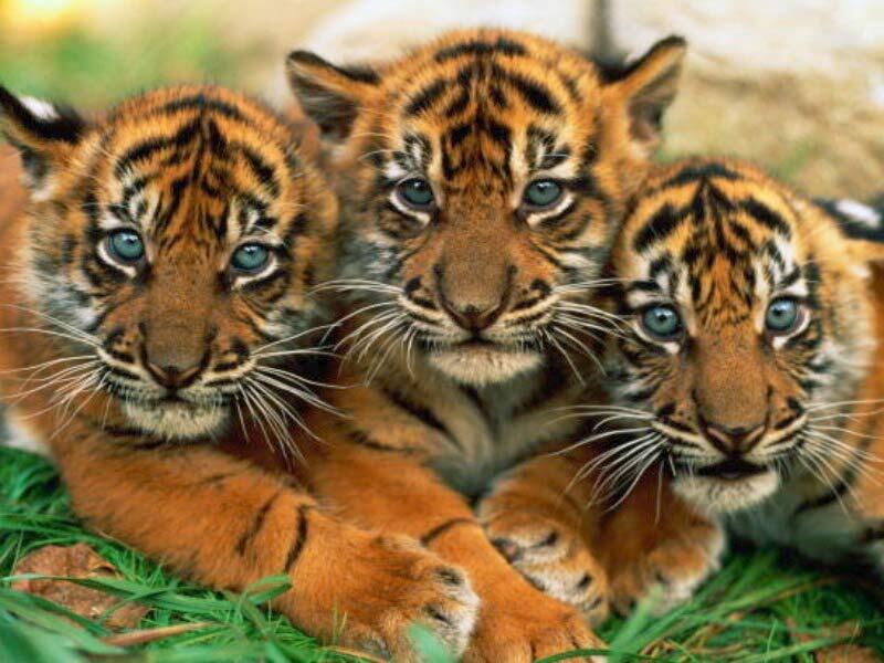 النمور البرية ستعود إلى كازاخستان بعد 70 عاما من الغياب