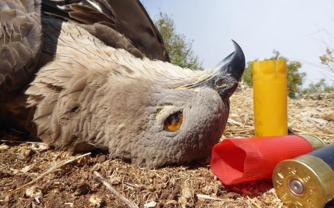 """مجزرة بحق طيور """"حوام العسل"""" في اغبي – كسروان … موسم الصيد امام استحقاق تطبيق القانون"""