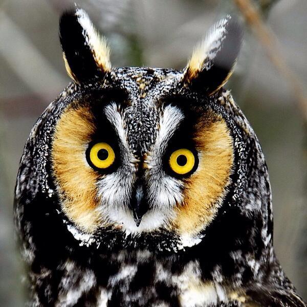 البومة هي الطائر الوحيد القادر على النظر إلى الأشياء بكلتي عينيها في نفس الوقت