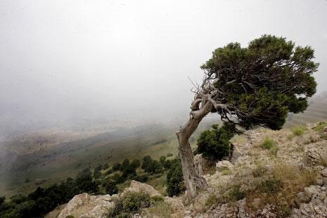 شجرة اللزاب بين الموت والحياة على قمم جبال لبنان