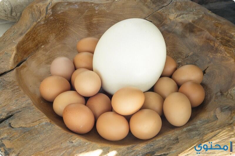 بيضة النعامة أكبر بيضة بين بيوض الحيوانات، وتكفي لإطعام اثني عشر رجلاً