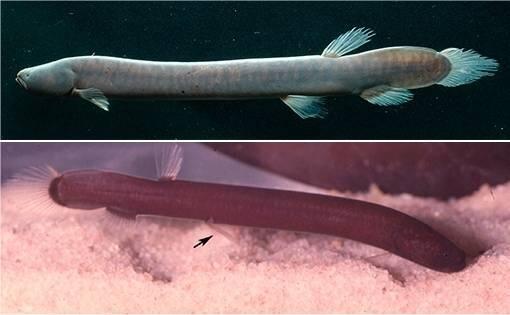 Descubierta una nueva familia de peces amazónicos: es la primera en 40 años