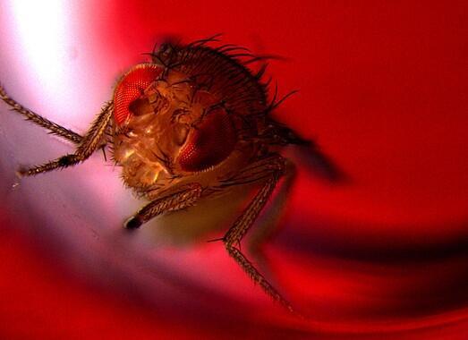 Las moscas de la fruta también disfrutan cuando eyaculan
