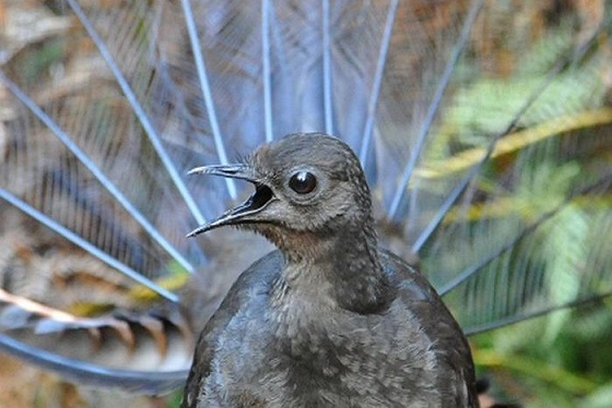 اعلى صوت لطائر ينفرد به طائر القيثارة حيث يمكن سماع صوت صريخه على بعد عدة كيلومترات في الغابة