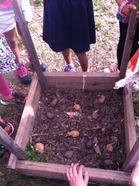 Third-graders settle the potatoes...