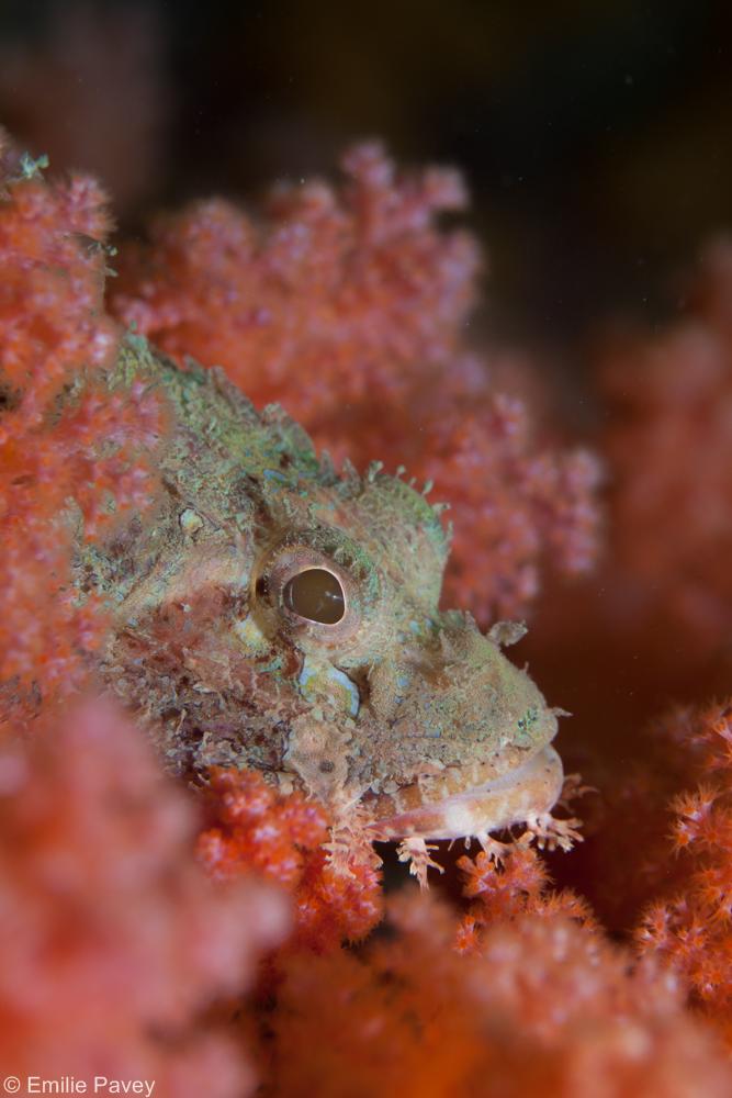 Scorpionfish sung kong