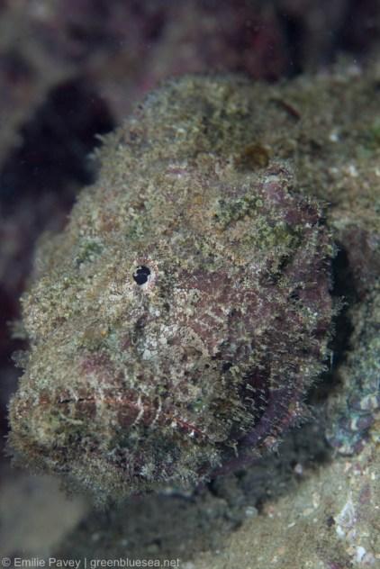 False stonefish Hong Kong