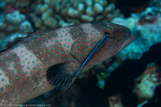 Grouper cleaning