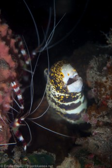 Moray eel with banded coral shrimps
