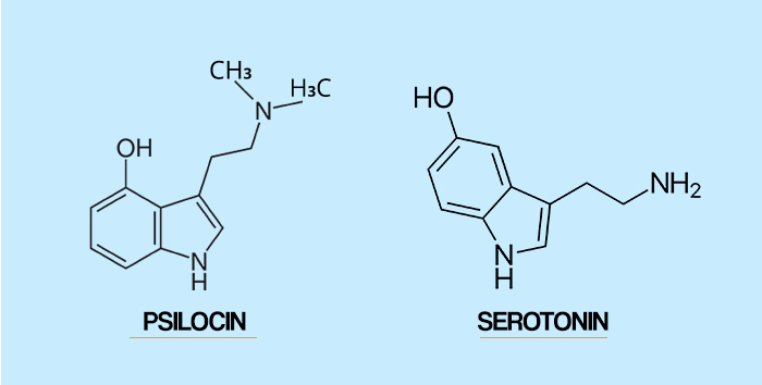 "This means that psilocin temporarily ""hijacks"" serotonin receptors from serotonin, and stimulate them throughout numerous important regions of the brain."