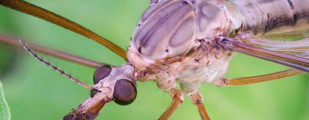Syngenta Tipula oleracae Syngenta Tipula oleracae cranefly