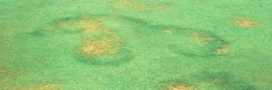 Fairy Rings in grass and turf