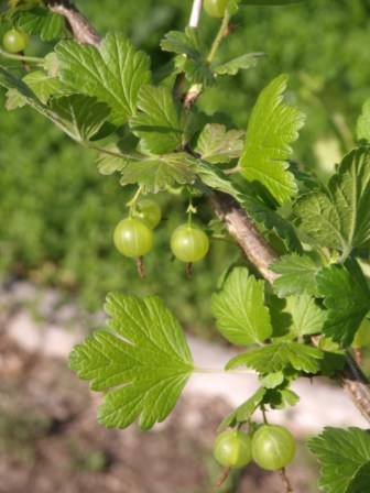 Another few weeks and it will be time for gooseberries!