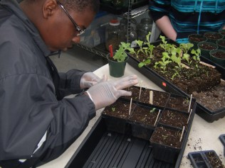 Greg carefully transplants some heirloom tomato seedlings.