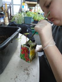 Lastly, the students very gingerly transplanted Celosia seedlings into their containers.