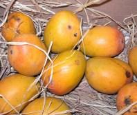 Fruit of Mangifera indica-Alphonso mango