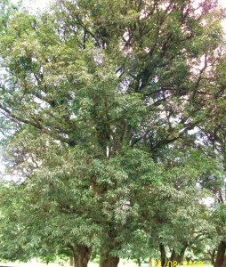 Mangifera indica -Tree