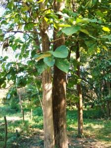 Tectona grandis-Tree