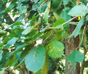 Tectona grandis_Leaves