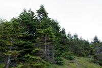 The conifer forest