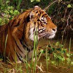 Tiger-India