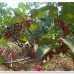 FICUS CARICA FRUITS