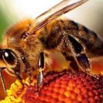 Honeybee-apis