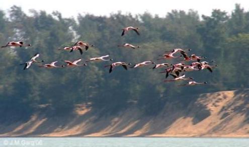 Lesser Flamingo at Chilika lake_Orissa_India