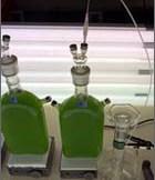 Algae hydrogen production