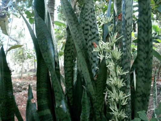 Mother-in-Law's Tongue Plant