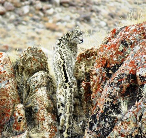 Snow Leopard in Ladakh